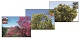 Set of 3 Maximum Cards Trees of Israel